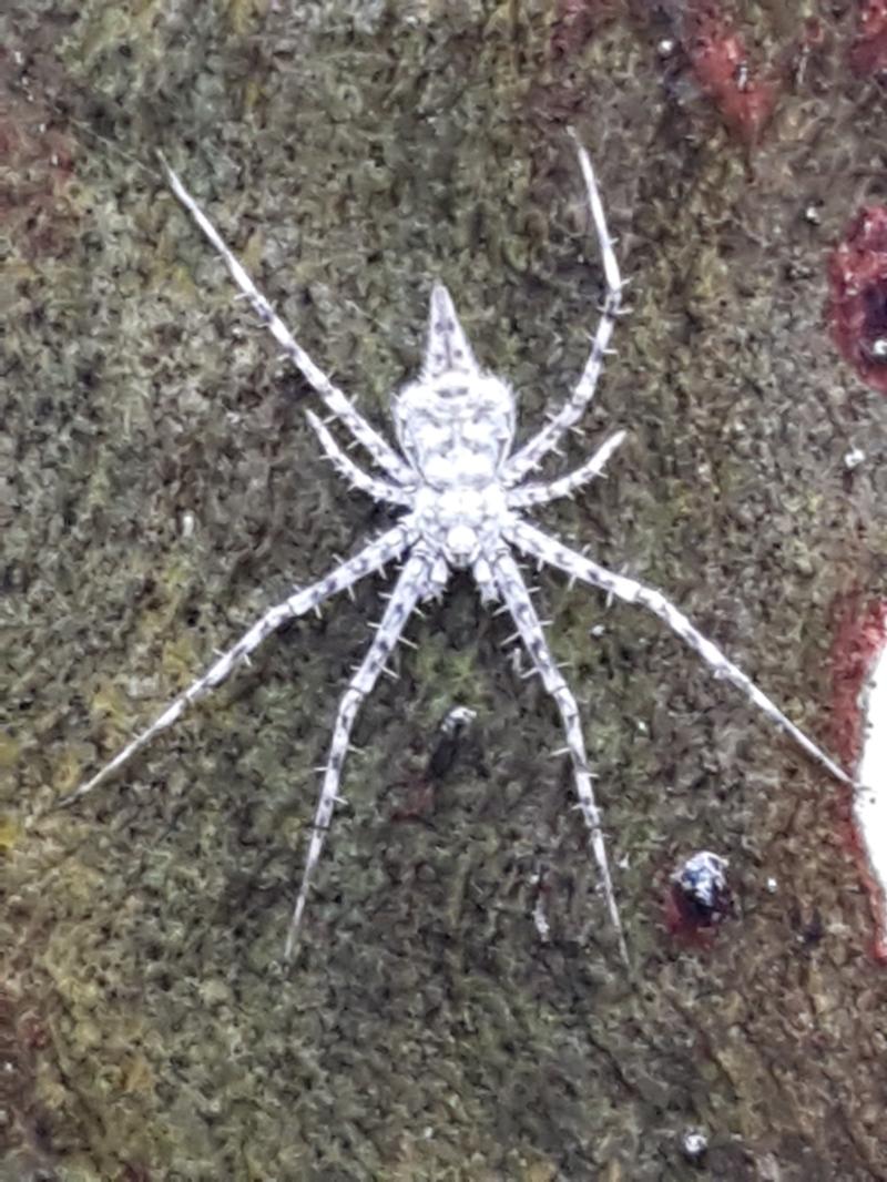 Tamopsis sp. (genus) at Black Mountain - 4 May 2021