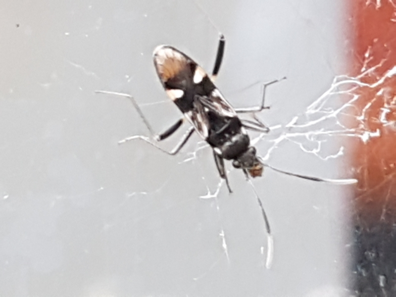 Dieuches sp. (genus) at Lyneham, ACT - 4 May 2021