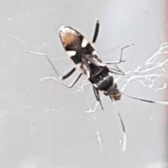 Dieuches sp. (genus) (A seed bug) at Lyneham, ACT - 4 May 2021 by tpreston
