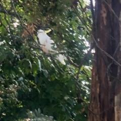 Cacatua galerita (Sulphur-crested Cockatoo) at Aranda, ACT - 3 May 2021 by KMcCue