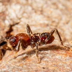 Reduviidae sp. (family) (TBC) at Black Mountain - 3 May 2021 by Roger