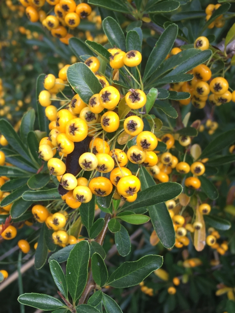 Pyracantha crenatoserrata at Lake Burley Griffin West - 2 May 2021