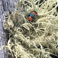 Dicranolaius bellulus (Red and Blue Pollen Beetle) at Namadgi National Park - 25 Apr 2021 by Tapirlord