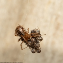 Cryptachaea veruculata (Diamondback comb-footed spider) at Black Mountain - 3 May 2021 by Roger