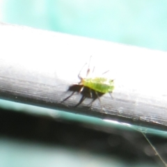 Aphididae (family) (Unidentified aphid) at Flynn, ACT - 4 May 2021 by Christine