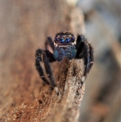 Jotus auripes (Jumping spider) at Aranda, ACT - 30 Apr 2021 by CathB