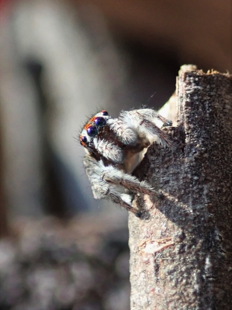 Maratus calcitrans at Aranda Bushland - 1 May 2021