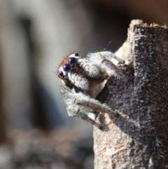 Maratus calcitrans (Kicking peacock spider) at Holt, ACT - 1 May 2021 by CathB