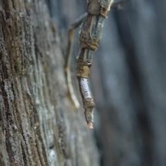 Boreoides subulatus at Aranda Bushland - 1 May 2021