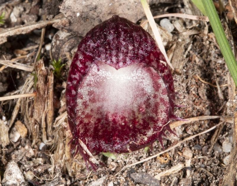 Corysanthes hispida at Tidbinbilla Nature Reserve - 3 May 2021