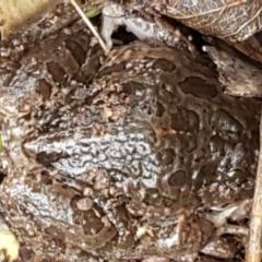 Limnodynastes tasmaniensis at Umbagong District Park - 4 May 2021