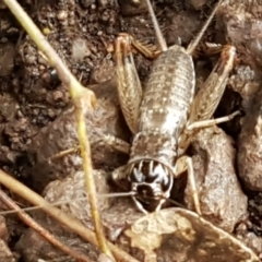 Unidentified All Cricket (Orthoptera, several families) (TBC) at Umbagong District Park - 4 May 2021 by tpreston