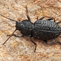 Unidentified Darkling beetle (Tenebrionidae) (TBC) at Umbagong District Park - 4 May 2021 by tpreston