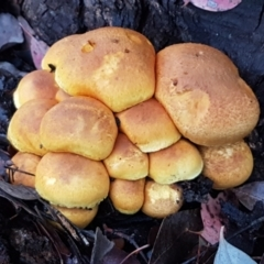 Gymnopilus junonius (Spectacular Rustgill) at Umbagong District Park - 4 May 2021 by tpreston