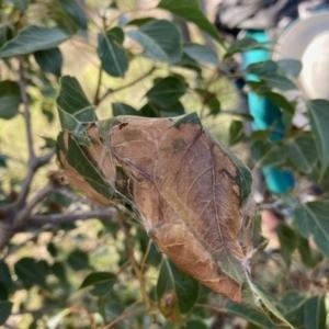 Dichocrocis clytusalis at Tuggeranong Hill - 28 Apr 2021