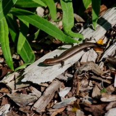 Lampropholis delicata (Delicate Skink) at ANBG - 1 May 2021 by regeraghty
