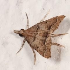 Sufetula hemiophthalma (A Crambid moth) at Melba, ACT - 1 May 2021 by kasiaaus
