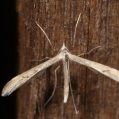 Platyptilia celidotus (Plume Moth) at Melba, ACT - 1 May 2021 by kasiaaus