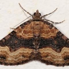 Epyaxa subidaria (Subidaria Moth) at Melba, ACT - 2 May 2021 by kasiaaus