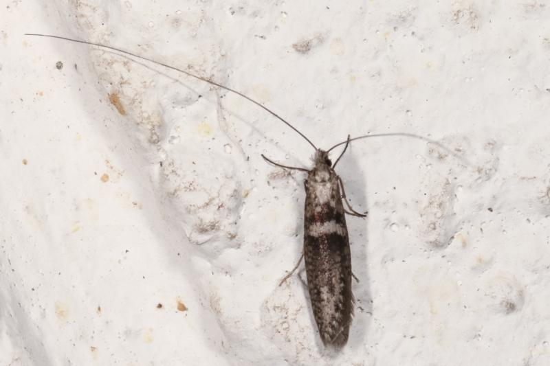 Ceromitia iolampra at Melba, ACT - 2 May 2021