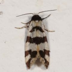 Lepidoscia characota at Melba, ACT - 2 May 2021