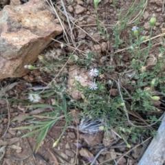 Vittadinia cuneata var. cuneata (Fuzzy New Holland Daisy) at Mount Majura - 1 May 2021 by WalterEgo