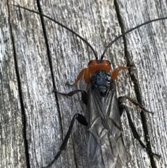 Unidentified Wasp (Hymenoptera, Apocrita) (TBC) at Namadgi National Park - 25 Apr 2021 by Tapirlord
