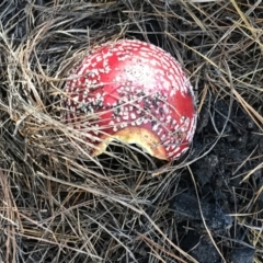 Amanita muscaria (Fly agaric) at Gibraltar Pines - 25 Apr 2021 by Tapirlord