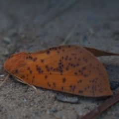 Plesanemma fucata (Lemon Gum Moth) at Umbagong District Park - 10 Apr 2021 by Caric