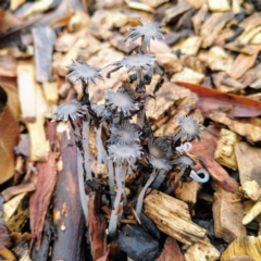 Coprinellus etc. (An Inkcap) at Australian National University - 4 May 2021 by Angus44