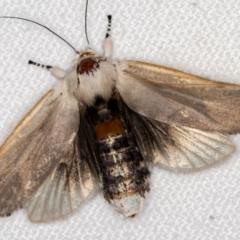 Cryptophasa sp. nr balteata (A Gelechioid moth) at Melba, ACT - 27 Dec 2020 by Bron