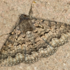 Eudesmeola lawsoni (Lawson's Night Moth) at Melba, ACT - 28 Dec 2020 by Bron