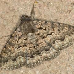 Eudesmeola lawsoni (Lawson's Night Moth) at Melba, ACT - 28 Dec 2020 by Bron
