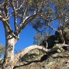 Eucalyptus blakelyi (Blakely's Red Gum) at Albury - 6 May 2021 by Alburyconservationcompany