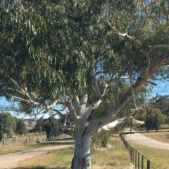 Eucalyptus sp. (TBC) at Albury - 6 May 2021 by Alburyconservationcompany