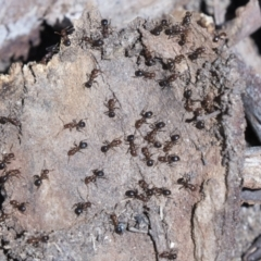 Papyrius nitidus (Shining Coconut Ant) at Cook, ACT - 29 Mar 2021 by AlisonMilton