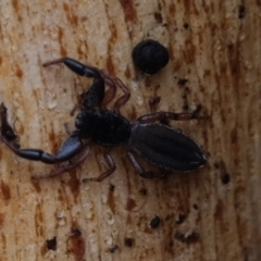 Holoplatys sp. (genus) (Unidentified Holoplatys jumping spider) at Kama - 6 May 2021 by Kurt