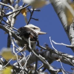 Dacelo novaeguineae (Laughing Kookaburra) at Holt, ACT - 27 Apr 2021 by AlisonMilton