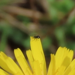 Linyphiidae sp. (family) (TBC) at Jerrabomberra Wetlands - 7 May 2021 by RodDeb