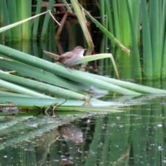 Poodytes gramineus (Little Grassbird) at Fyshwick, ACT - 7 May 2021 by RodDeb