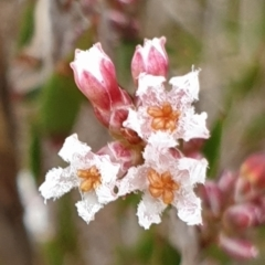 Leucopogon virgatus (Common Beard-heath) at Mount Painter - 4 May 2021 by drakes