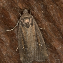 Proteuxoa provisional species 4 (TBC) at Melba, ACT - 26 Dec 2020 by Bron