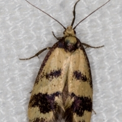 Olbonoma triptycha (Concealer moth) at Melba, ACT - 26 Dec 2020 by Bron