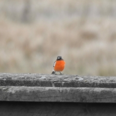 Petroica phoenicea (Flame Robin) at Namadgi National Park - 8 May 2021 by KMcCue
