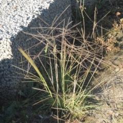 Chloris truncata (Windmill Grass) at Isabella Pond - 4 Mar 2021 by michaelb