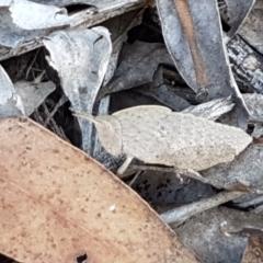 Goniaea sp. (genus) (A gumleaf grasshopper) at Lower Cotter Catchment - 9 May 2021 by tpreston