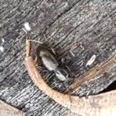 Unidentified Darkling beetle (Tenebrionidae) (TBC) at Lower Cotter Catchment - 9 May 2021 by tpreston
