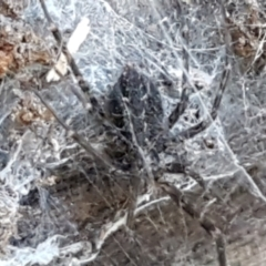 Unidentified Other web-building spider (TBC) at Lower Cotter Catchment - 9 May 2021 by tpreston