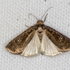 Proteuxoa provisional species 4 at Melba, ACT - 26 Dec 2020 by Bron