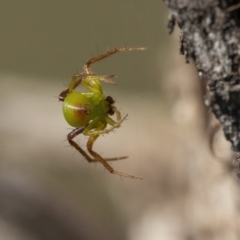 Unidentified Jumping & peacock spider (Salticidae) (TBC) at Googong, NSW - 30 Apr 2021 by WHall